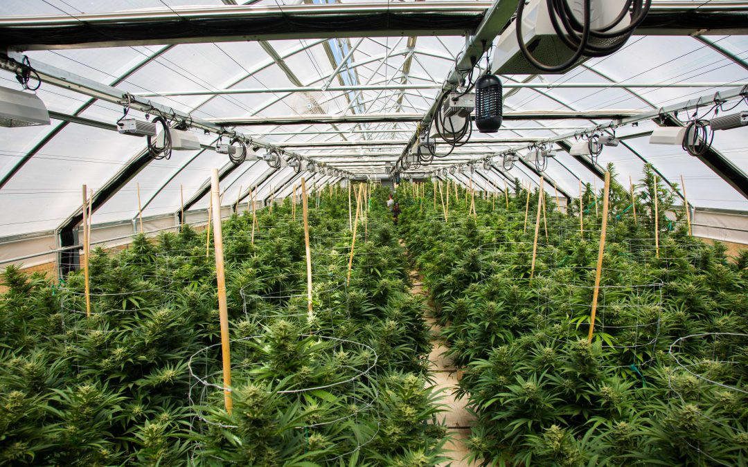 Reduce the Chance of Mold in Your Greenhouse and Indoor Grow